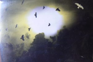 bele vrane 300x201 - Bele vrane